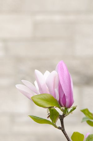Tulip magnolia flower closeup with copy space, also known as Saucer magnolia