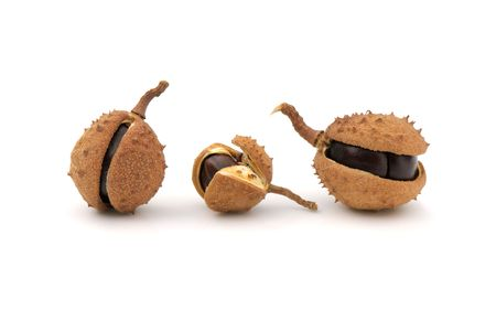 Close-up of chestnuts with husk on white background