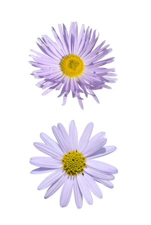 Close-up of two purple asteraceae isolated on white
