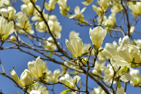 Yellow bird magnolia in blue sky Фото со стока