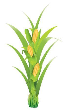 corncob Stock Vector - 6756132