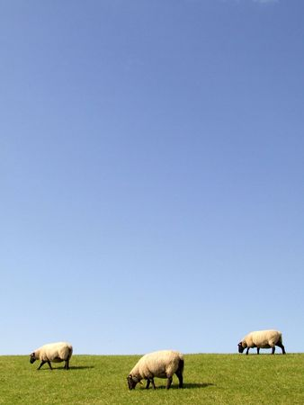 muster: Sheep  Stock Photo