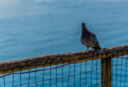Pigeon in Riomaggiore Liguria Italy
