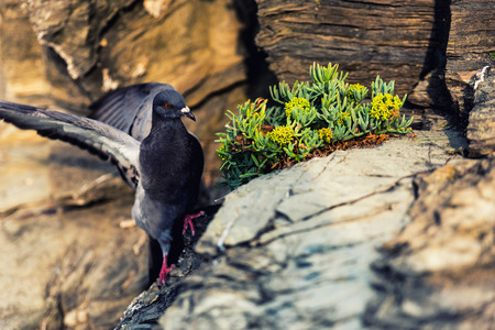 Nice pigeon in Riomaggiore Italy 스톡 콘텐츠