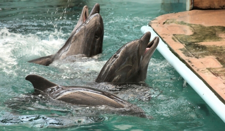 dolphins sail in water