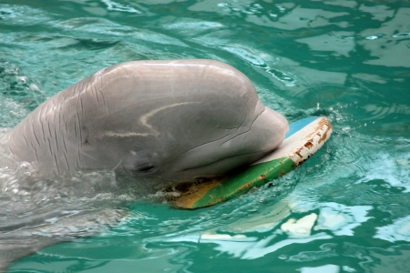 profundity: dolphin in pool sails with wooden board
