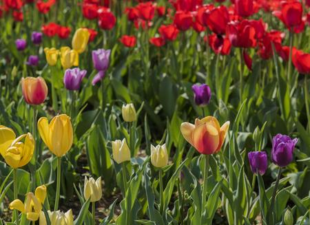 hebei: Chinas Hebei Province, Shijiazhuang city botanical garden, tulips Stock Photo