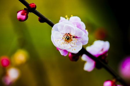 Wuhan City, Hubei province China, plum, plum Stock Photo