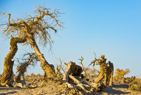 China, Inner Mongolia, Ejinaqi, the life of crying --- strange woods
