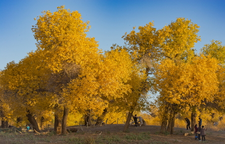 Luntai Huyang Pappel Forest Park in China Innere Mongolei. Standard-Bild - 81344701