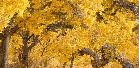 luntai huyang poplar forest park at china inner mongolia. Stock fotó