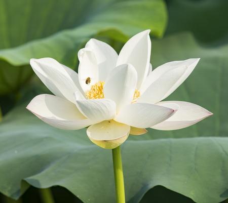 hebei: white lotus