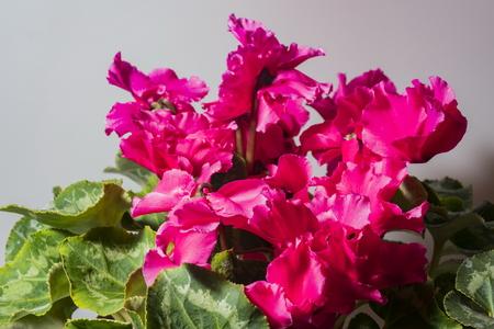 cyclamen plant Stock Photo