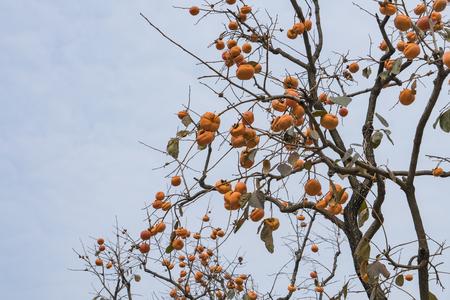 mature persimmon.