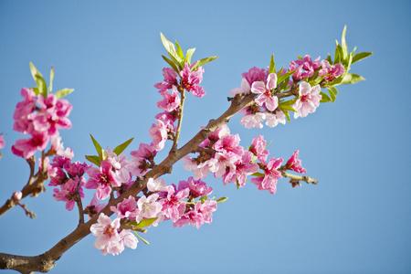 peach blossom trees Banco de Imagens