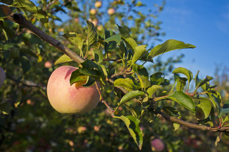Apple farmland