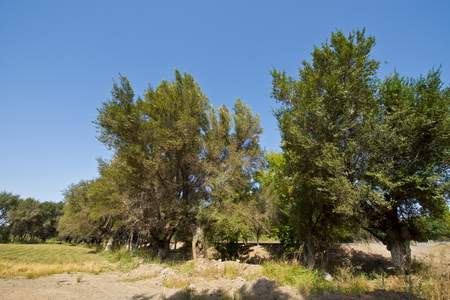 Ancient eucalyptus forest at Urumqi, Xinjiang, China. 版權商用圖片