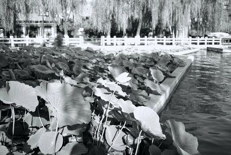 China, Shandong Province, Jinan City, Daming Lake Scenic Area Lotus Pond View