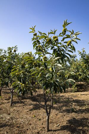 China, Hebei Province, Tangshan City, the chestnut tree to be harvested in Qianxi County