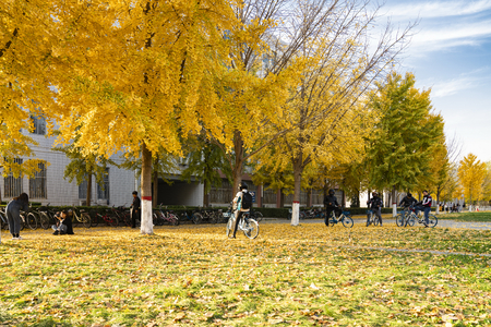 China, Hebei Province, Shijiazhuang City, Hebei University of Economics and Trade, people under the golden ginkgo forest