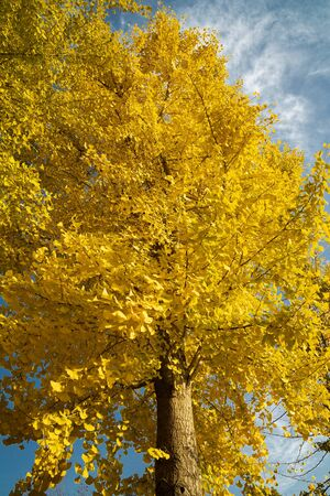 Ginkgo tree close up