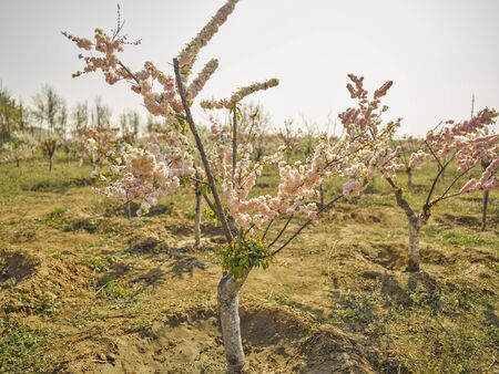 China, Hebei Province, Shijiazhuang City, Hutuohe Wetland Park, cherry blossoms