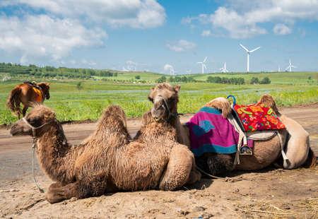 Camel at Grassland Tianlu Scenic Area, Zhangbei County, Zhangjiakou City, Hebei Province, China.