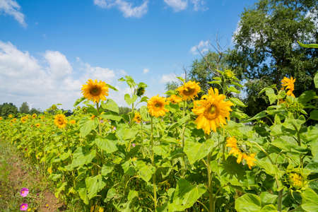 China, Hebei Province, Zhangjiakou City, Zhangbei County, Grassland Tianlu Scenic Area, sunflower