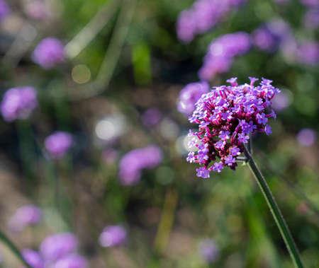 China, Hebei Province, Zhangjiakou City, Zhangbei County, Grassland Tianlu Scenic Area, Lavender Stock fotó