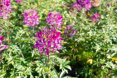 Cleome hassleriana (spider flower) in Tianlu grassland