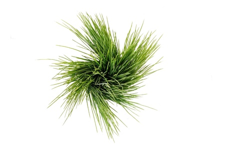 Isolated Ornamental Grass on White