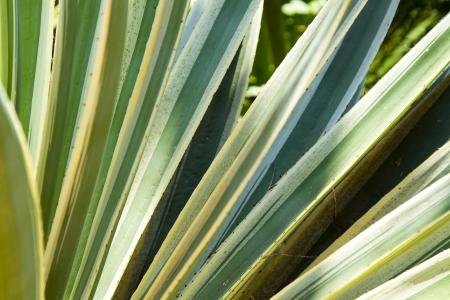 hojas: Sansevieria trifasciata