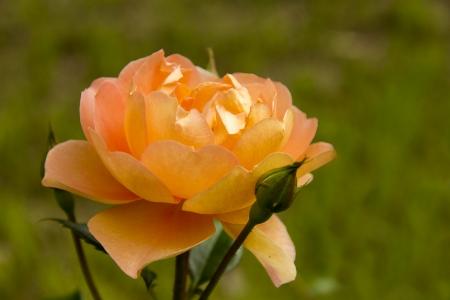 Rosa naranja del jardin japones Foto de archivo - 23884796