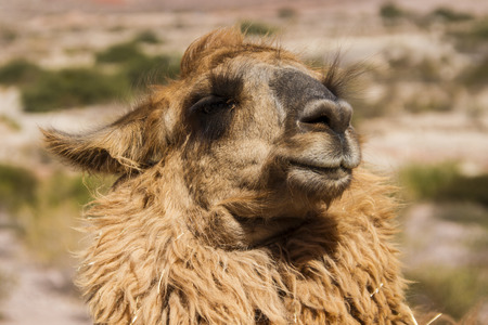 Detail of a Llama, domestic American camelid. photo