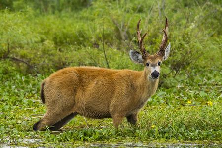 corrientes: male deer grazin in water