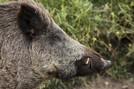 head of wild boar on semi-captivity Stock Photo