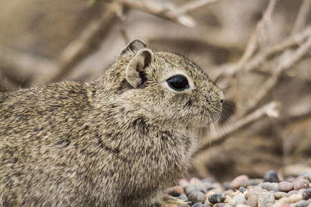 small least cavy in patagonia photo