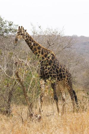 giraffe browsing on the high leaves of a bush photo
