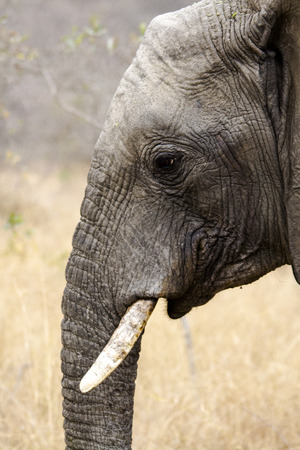 ivory: head of young elephant ivory tusks short Stock Photo
