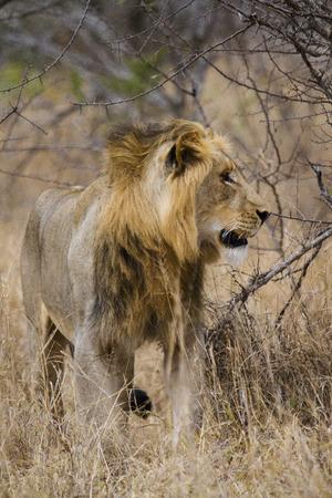 big five: giovane leone maschio � uno dei cinque grandi di africa
