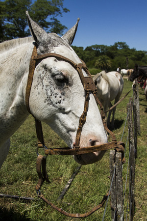 forelock: criollo horse head in the exhibition Gauchos in Areco Stock Photo