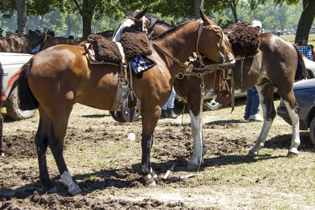 mustang horse prepared in the exhibition Gauchos in Areco photo