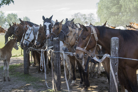 mustang horse: mustang horse prepared in the exhibition Gauchos in Areco
