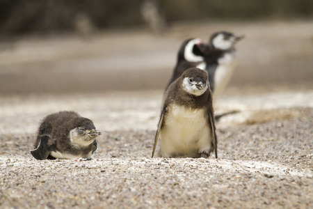 offspring: offspring couple of Magellanic penguins in the penguin colony of tombo tip