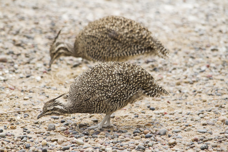 sandy soil: Patagonian partridges looking for seeds to eat in the sandy soil and stones. Stock Photo