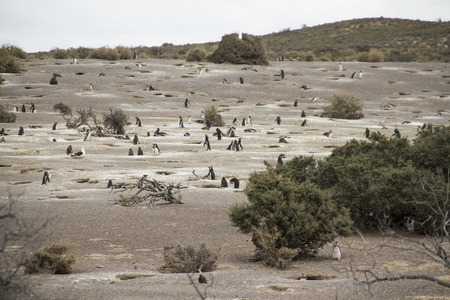 pinguinera: Amplia vista de la colonia de ping�inos de Magallanes de Punta Tombo. Los nidos se contruyen en la tierra. Foto de archivo
