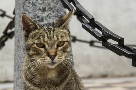 looking ahead: brown cat looking ahead with a pilot and chains background Stock Photo