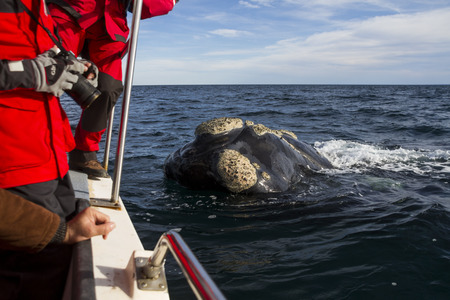 baleen whale: to approach a whale observation boat
