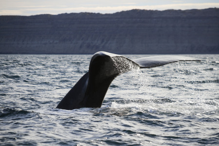 dive trip: humpback whale tail in patagonia Stock Photo