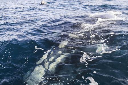 baleen whale: Nataci�n de la ballena jorobada y muestra la cabeza Foto de archivo